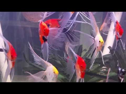 War Paint Angelfish Super Veil Breeders On Holiday