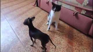 Кот гопник и нервный той терьер
