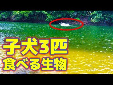 川に潜む犬を食う水中生物とは…?【西表島遠征釣り修行#5】