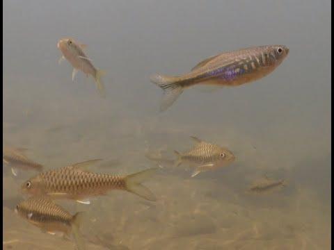 Freshwater Life In Sri Lanka (Dawkinsia)