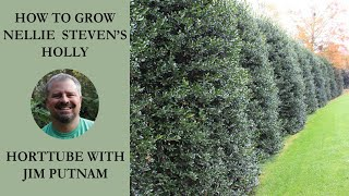 how to grow nellie steven s holly with planting and care instructions