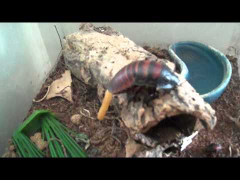 Rats and Pregnant Madagascar Hissing Cockroach!  :O