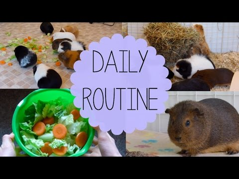 Daily Guinea Pig Routine | Spring 2015