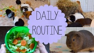 Download Daily Guinea Pig Routine | Spring 2015 Mp3 and Videos