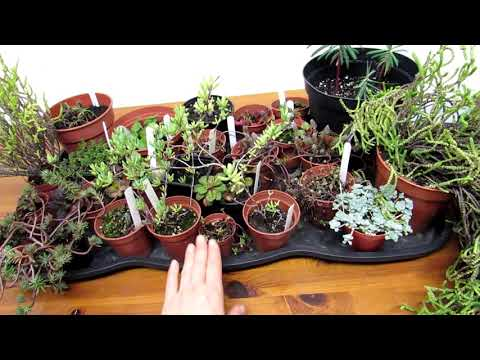 Bringing In Our Outdoor Succulents Due To Snow & Freezing Temperatures