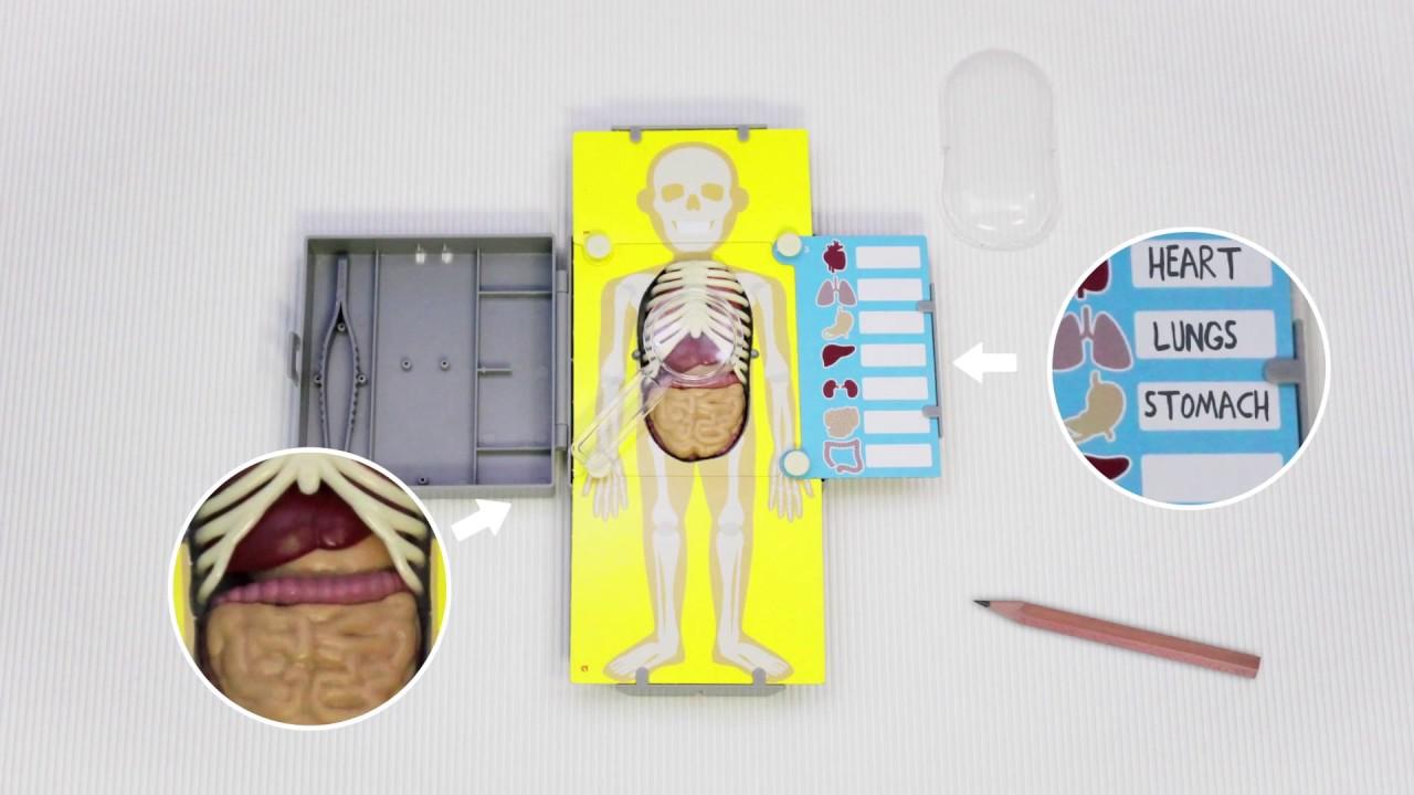 Anatomia - Torso Humano - YouTube