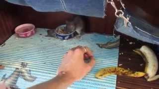 Крысята | Букет очаровательных агути.