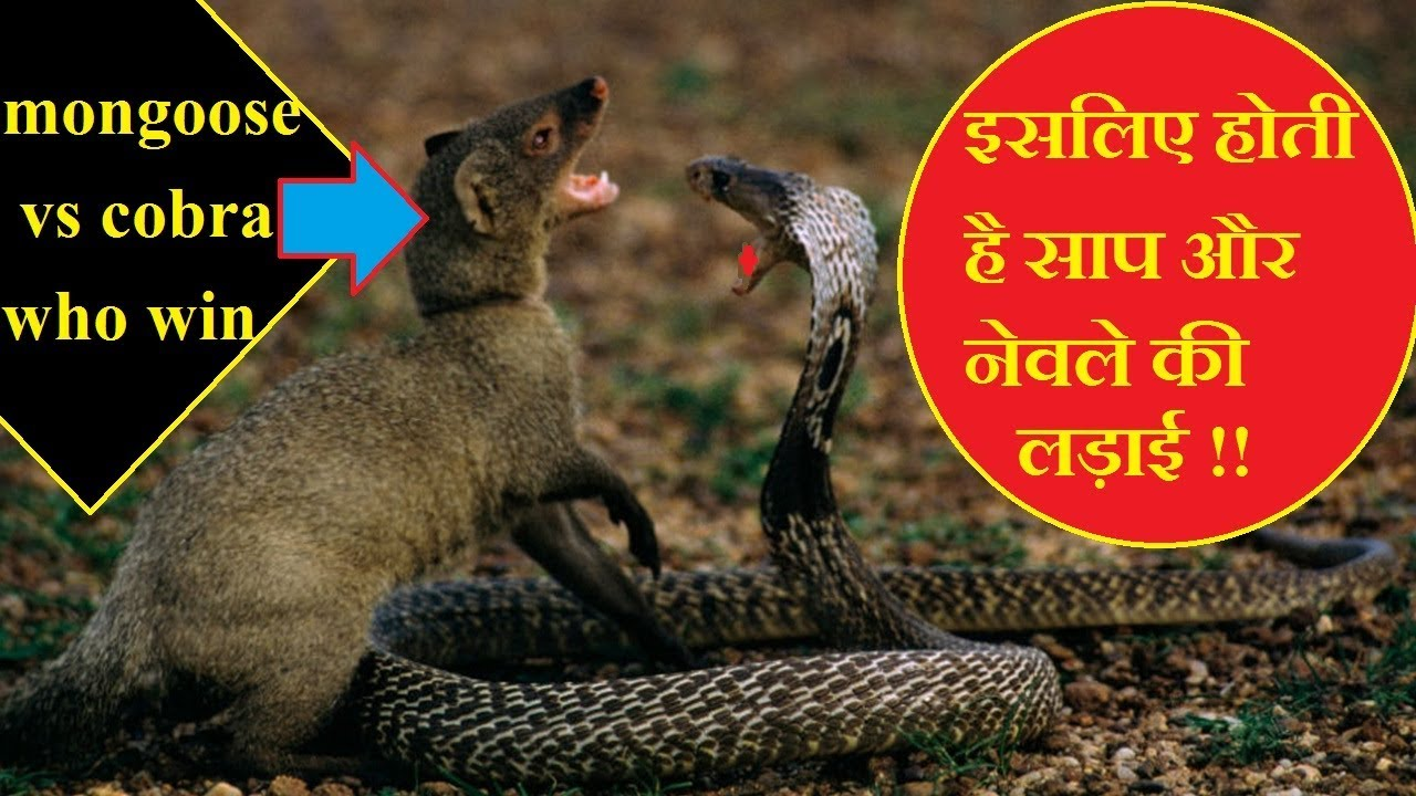 mongoose vs snake | saap aur nevla ki ladai kyu hoti hai | क्यों सांप और  नेवला दुश्मन हैं