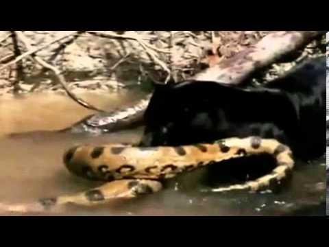 Cuộc hỗn chiến giữa báo đen, đốm với trăn khổng lồ