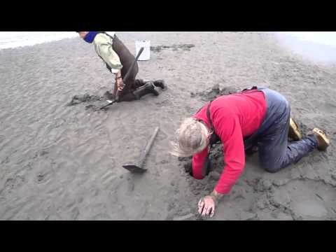 Lyle West and Friends Digging Clams in Cook Inlet, Alaska
