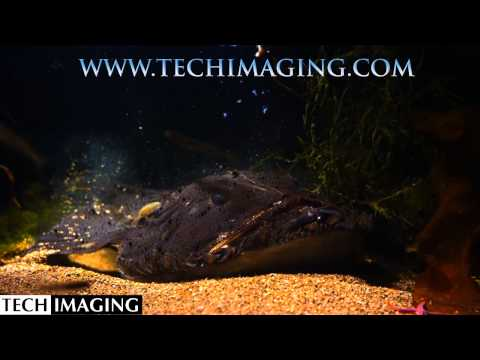 High Speed Video Cameras -  Monk Fish