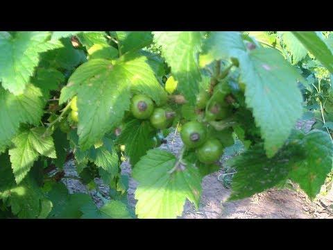 Вопрос: Чем обработать кусты смородины против тли?
