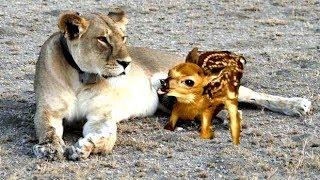 Wild Lioness Nursing Baby deer