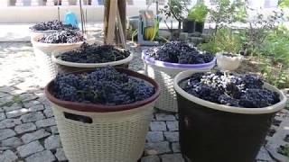 Evde Doğal Şarap Yapımı