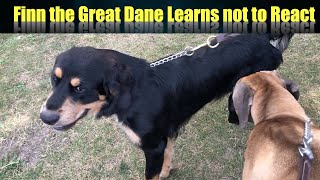 FINN THE GREAT DANE GOES TO THE PACK WALK LEARNS NOT TO REACT TO OTHER DOGS