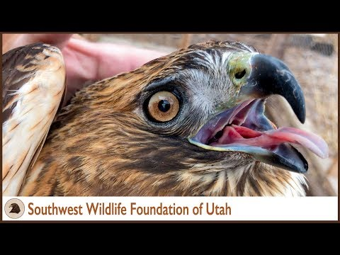 White Belly Bald Eagle & Red Tailed Hawk Updates