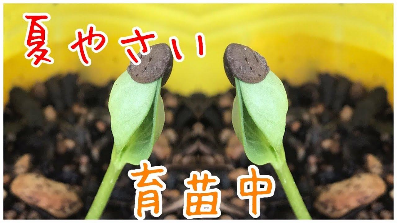 夏やさい育苗中 【家庭菜園だより】from seed