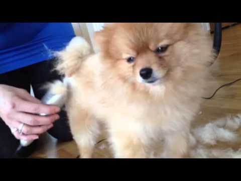 how to cut pomeranian hair at home pomeranian teddy bear cut before and after 3136
