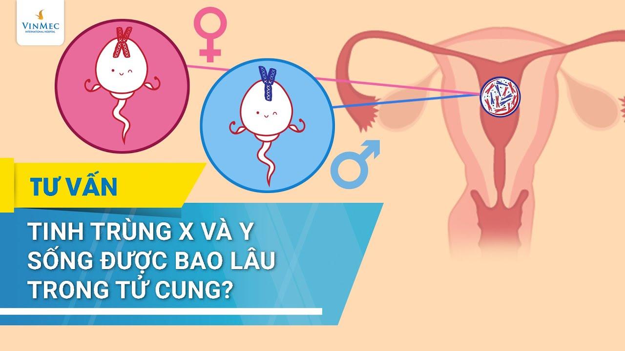 Tinh trùng X và Y sống được bao lâu trong tử cung?