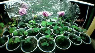 розы из семян  ускоренное видео