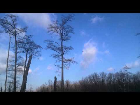 Felsenthal NWR - Swarm of Mallards in the Bottoms - 1/11/11