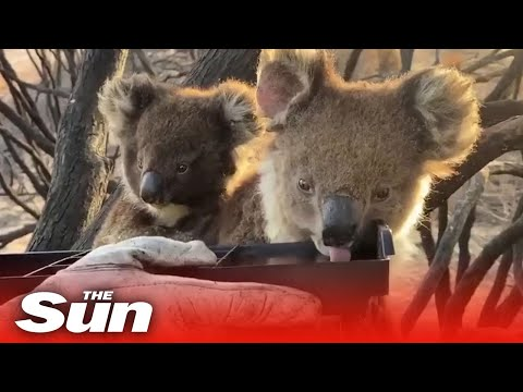 Firefighters Give Water To Thirsty Baby Koala And Mother On Kangaroo Island Australia Youtube