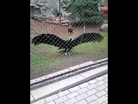 Московский зоопарк . Горный орёл