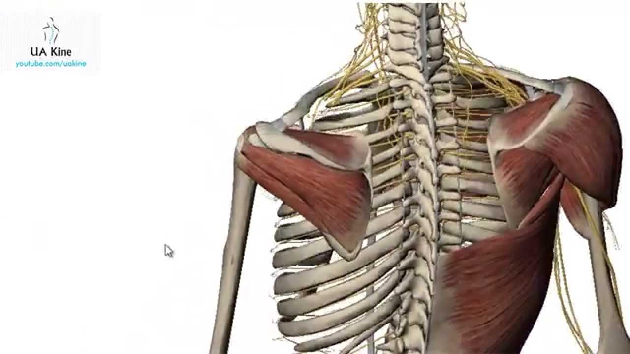 Manguito Rotador / Rotator cuff - Anatomía - YouTube
