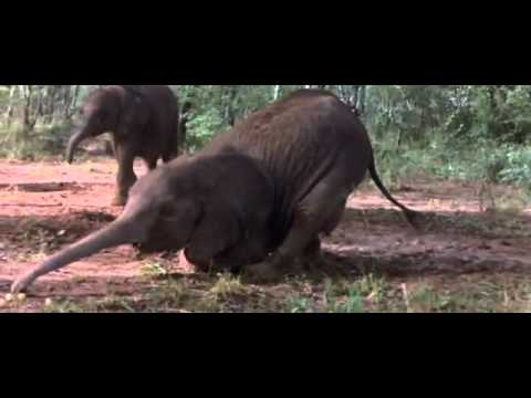 African Animals Getting Drunk From Ripe Marula Fruit