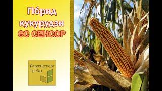 Кукуруза ЕС Сенсор  🌽 - описание гибрида 🌽, семена в Украине