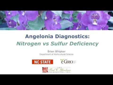 Angelonia: Comparing Nitrogen and Sulfur Deficiencies