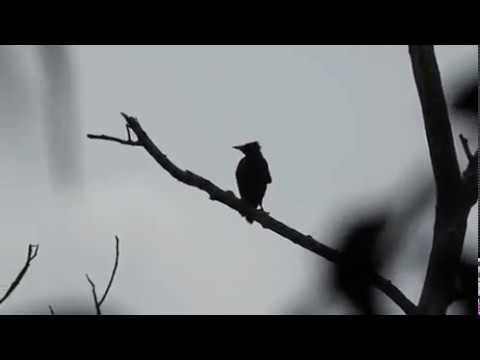 awalnya iseng pasang jebakan burung dipinggir rawa malah dapet burung keren ini