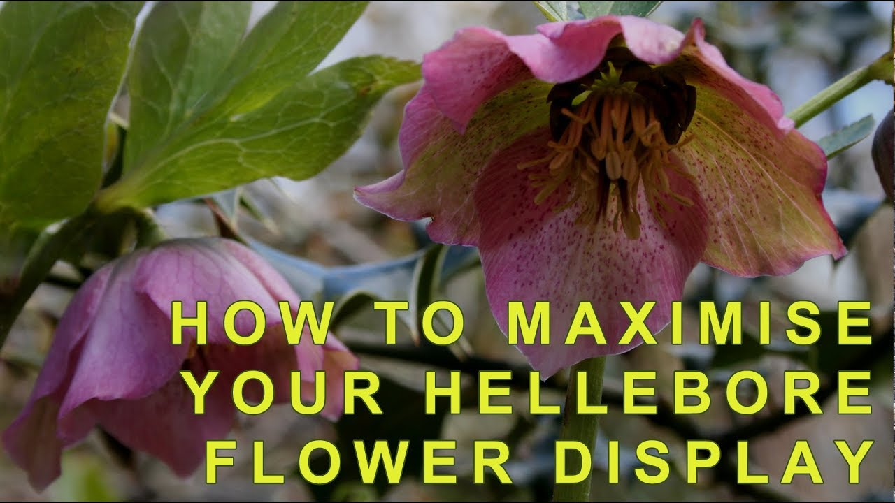 How To Cut Back Hellebores To Show Off Their Flowers Youtube