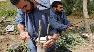 ها علاش مكنعملوش الخضرة فأرضنا   وها الطريقة الصحيحة ديال تلقيم تطعيم شجرة الزيتون