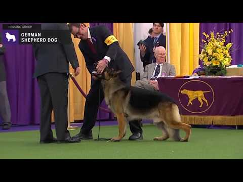 German Shepherd Dog | Breed Judging 2020
