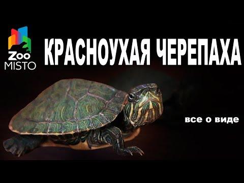 Красноухая Черепаха - Все о виде пресмыкающегося | Вид пресмыкающегося - Красноухая Черепаха