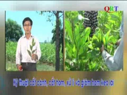 Kỹ thuật sản xuất cây giống keo lai bằng phương pháp giâm hom