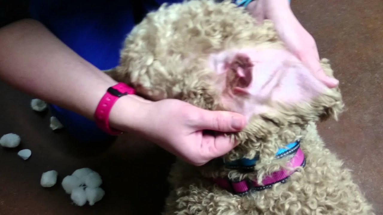 how to clean a dogs ears out