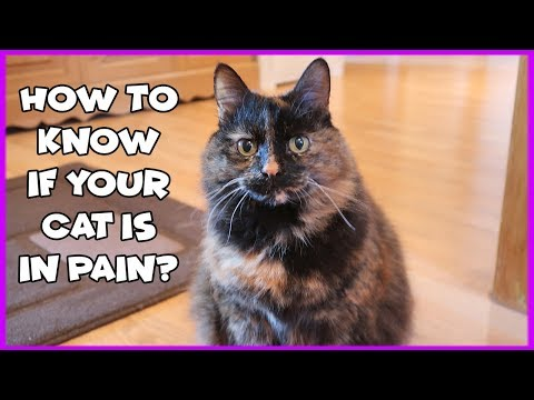 How To Know If Your Cat Is In Pain | Signs Of A Cat In Pain | Arthritis in Cats