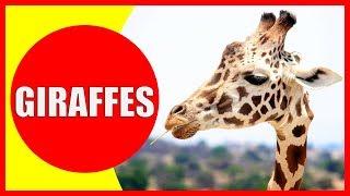 GIRAFFE VIDEOS FOR KIDS - Facts about Giraffes for Children, Preschoolers and Kindergarten