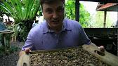 4 июл 2017. Стоимость кофе лювак (копи лювак) на плантациях составляет около. В магазинах при плантации можно купить фасованные специи и.
