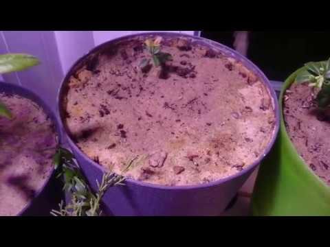 Вопрос: Можно ли вырастить ягоды земляники под фитолампами?