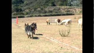 German Shepherd Group Sheep Tending