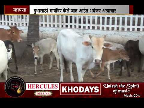 Video Reveals Cattle in Goa Are Subjected To Daily Torture