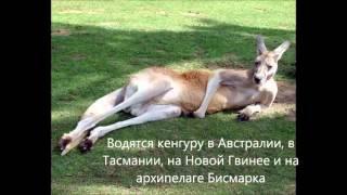 Доклад  про  кенгуру