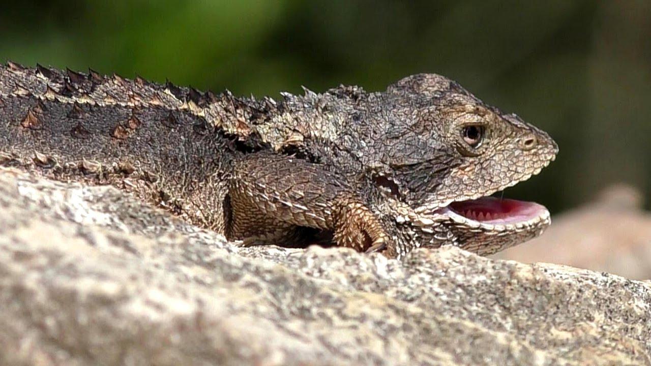 K Dragon Lizard Mountain Dragon...