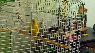 Реакция попугая на колокольчик Ксюша играет