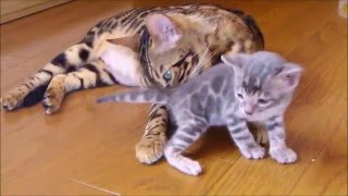 Бенгальская кошка, котики и котята, порода бенгал