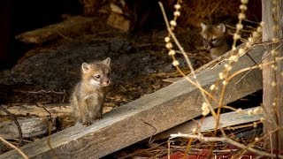 Tiny Fox Pups in the Fox Den