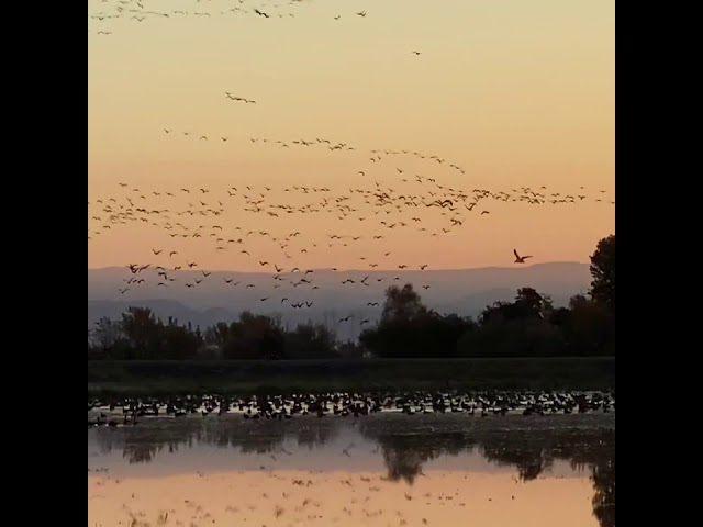 Geese in Rice Country